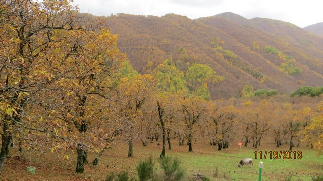 Chestnut orchards, Avellina Itlay