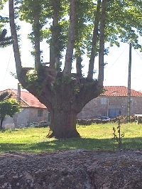 Old grafted chestnut, Galicia Spain
