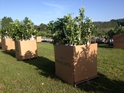Large Dunstan Chestnut Tree Orders