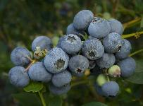 Farthing Blueberry